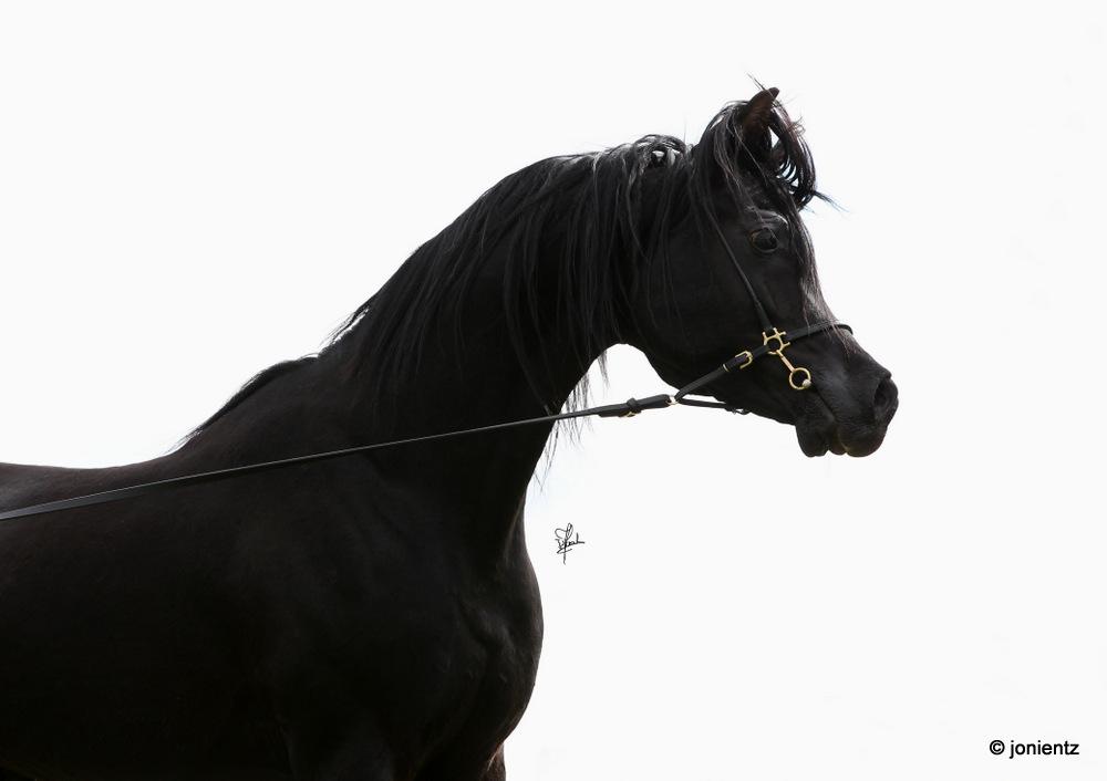 Araber Pferde